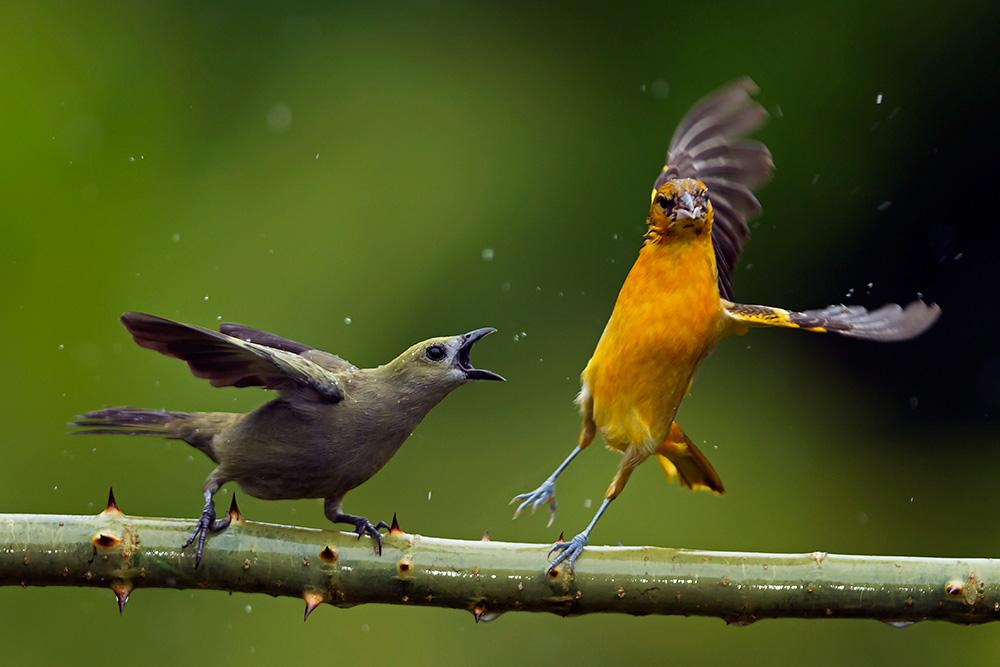 kuźnia-fighting-bird-wallpaper